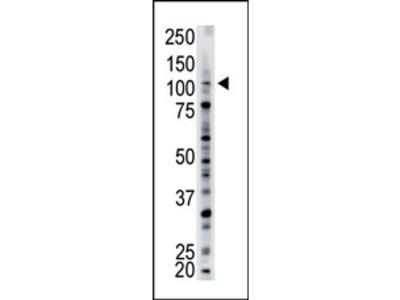 anti USP15 (N-term)
