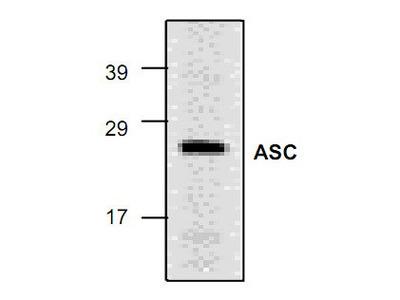 ASC/TMS1 Antibody