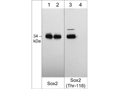 Sox2 (Thr-118), phospho-specific Antibody