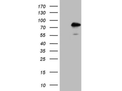 Mouse monoclonal TR4 / NR2C2 Antibody