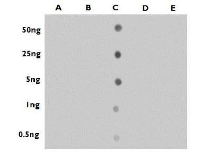 5-Hydroxymethylcytosine Antibody