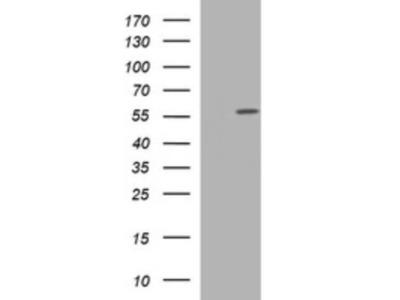 Mouse monoclonal TUBA6 Antibody