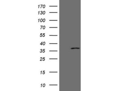 Mouse Monoclonal EBLN2 Antibody