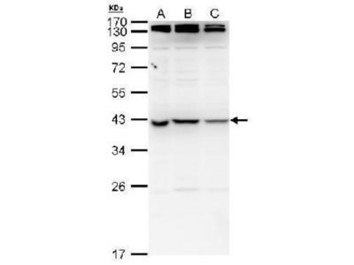 NME7 Antibody