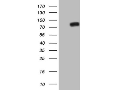 Mouse Monoclonal NR4A3 / NOR1 Antibody