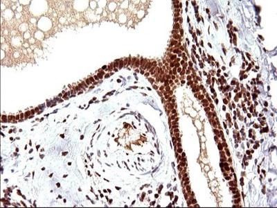 Mouse monoclonal POLR3GL Antibody