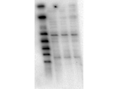 AKT Antibody (5E5.F5.D7)
