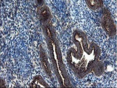 Mouse monoclonal SnoN Antibody