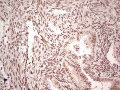 Mouse Monoclonal SF-1 / NR5A1 / Steroidogenic Factor 1 Antibody