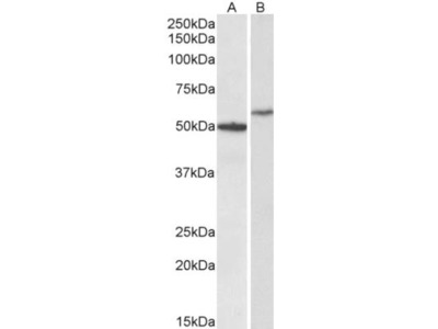 CD47 Antibody