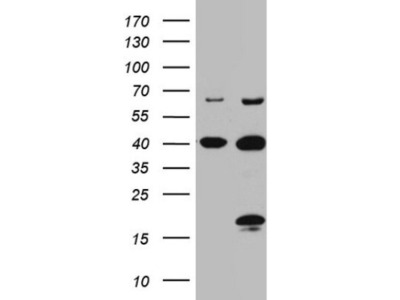 C4orf36 Antibody (OTI7A7)