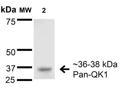 Mouse Monoclonal QKI / Quaking Antibody