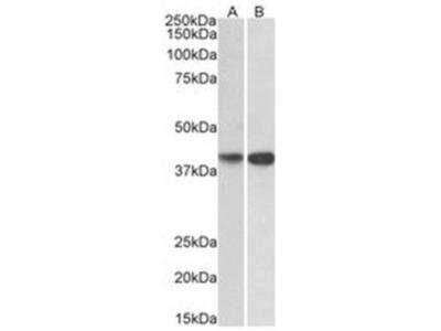 Goat Polyclonal ENDOGL1 Antibody