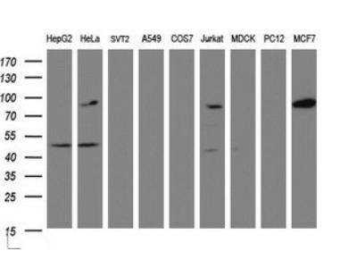 ATRIP Antibody (OTI1G6)