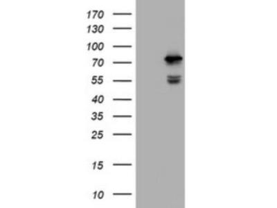 CCDC93 Antibody (OTI6E11)