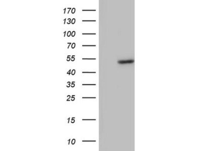 Mouse monoclonal phakinin Antibody