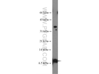 TOMM5 Antibody