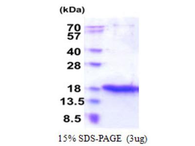 ZG16 Protein
