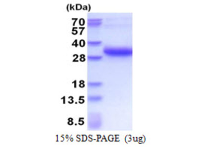 MREG Protein
