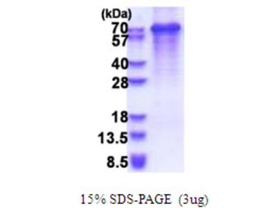 SYT3 / Synaptotagmin 3 Protein