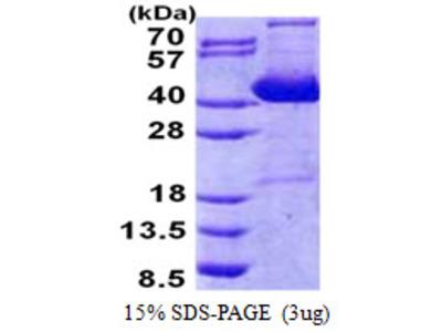 IMPACT Protein