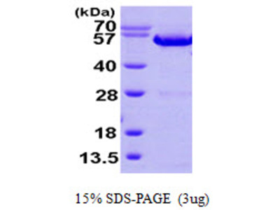 ANXA11 / Annexin XI Protein