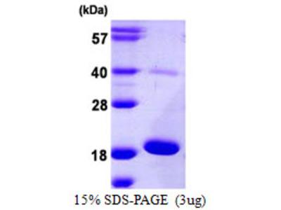 AG3 / AGR3 Protein