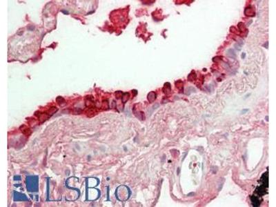 SCGB1A1 / Uteroglobin Antibody