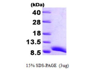 ATOX1 Protein