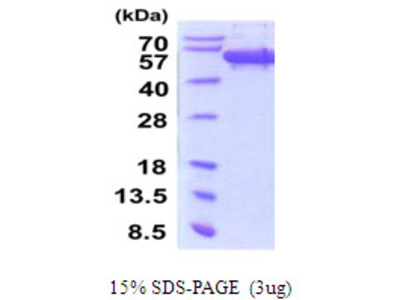 SCRN1 / Secernin 1 Protein