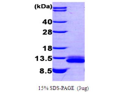 SDF1 / CXCL12 Protein