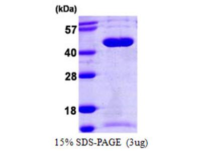 SEPT5 / Septin 5 Protein
