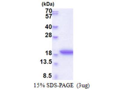 MRFAP1L1 Protein