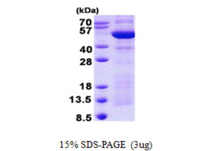 SYT4 Protein
