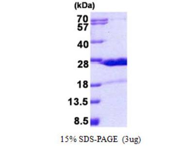 HN1 / ARM2 Protein