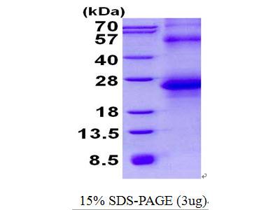 SPINT2 / HAI-2 Protein
