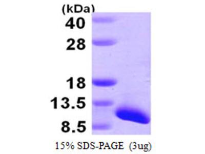 SNRPG Protein