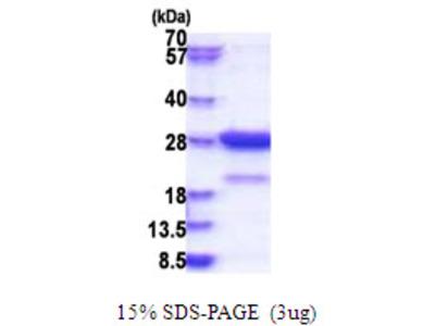 Amisyn / STXBP6 Protein