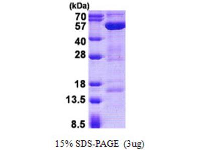 STAMBP / AMSH Protein