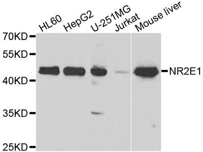 Anti-NR2E1 antibody