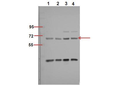 Anti-Phospho-p70 S6 kinase α (S418) antibody