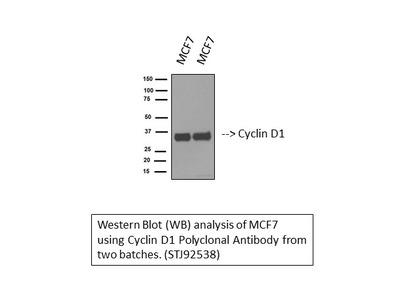 Anti-Cyclin D1 antibody