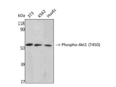 Anti-Phospho-Akt1 (T450) antibody