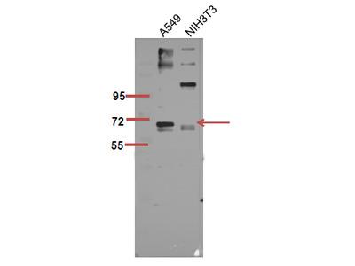 Anti-Phospho-p70 S6 kinase α (S447) antibody