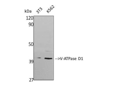Anti-V-ATPase D1 antibody