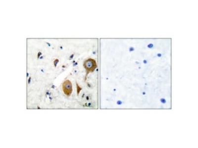 Anti-mGluR-8 antibody