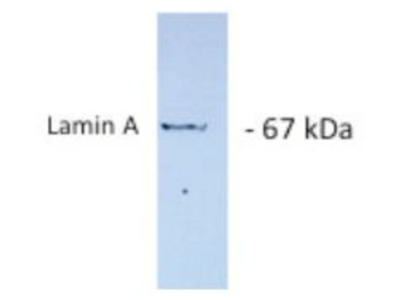 LMNA antibody
