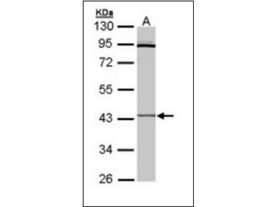 CRLF1 antibody