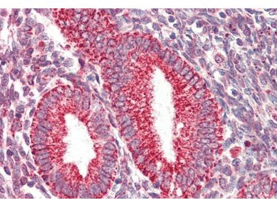 COX IV antibody