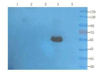 SLC34A1 antibody